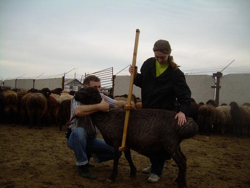 Xi российская выставка племенных овец
